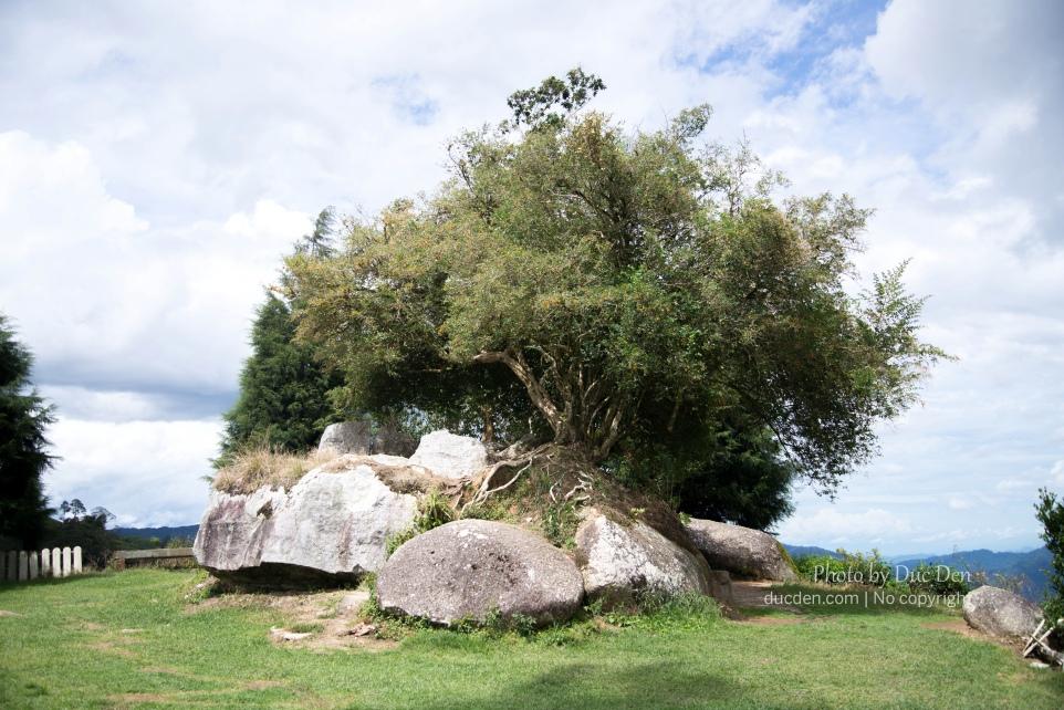 Trên đỉnh một đồi chè có một cây cổ thụ thì đó nhìn hay lắm