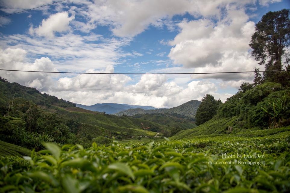 BOH Tea   Du lịch Cameron Highlands