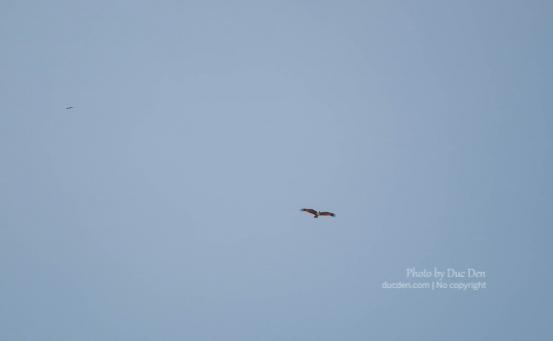 Một chú đại bàng xa xa | Đảo Langkawi