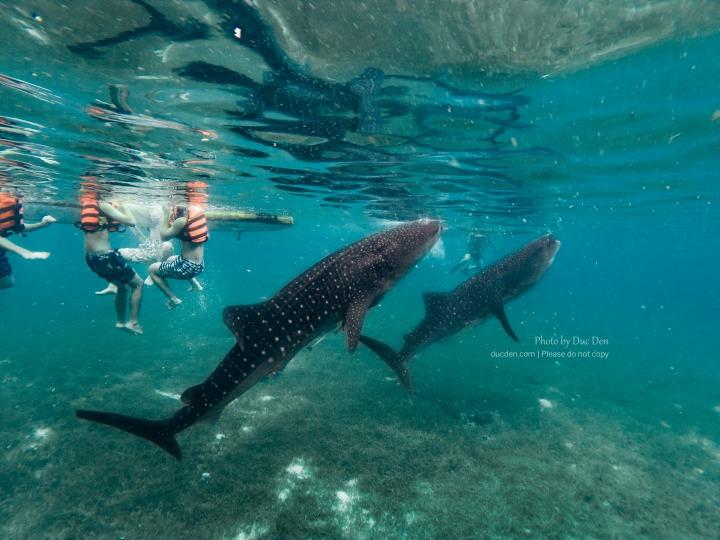 Du lịch Cebu 2019: Update mới nhất đi bơi cùng Cá Mập Voi KHỔNG LỒ
